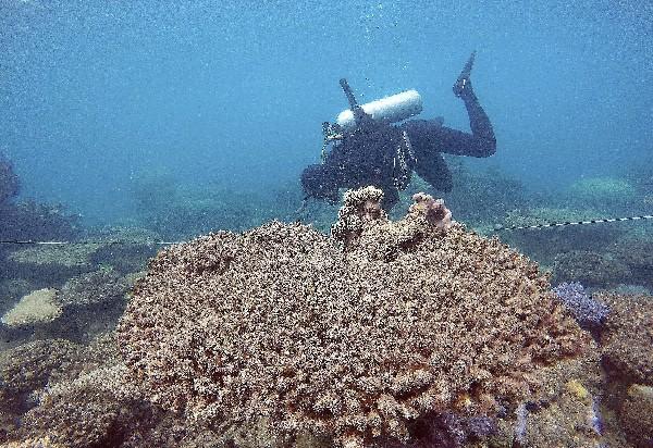 Un experto hace la valoración de la mortalidad del coral en la Gran Barrera de Australia.(EFE).