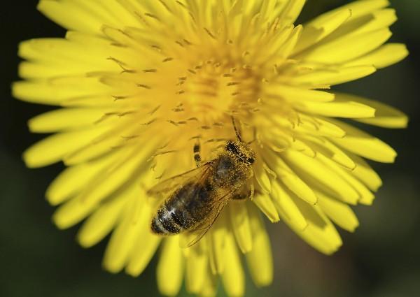 Además de las abejas otros insectos silvestres como moscas, escarabajos, mariposas u hormigas cumplen un papel clave en la producción agrícola.