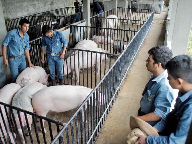 Jóvenes examinan  los  cerdos que serán vendidos en pie o destazados. (Foto Prensa Libre: Mike Castillo)