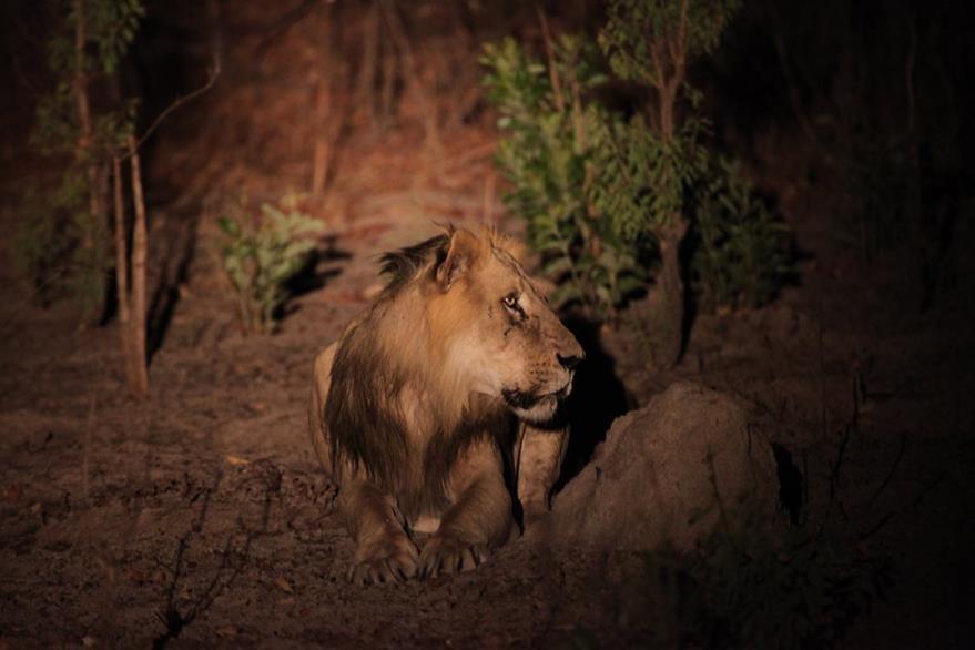 El estudio se realizó durante 20 años a partir de 47 poblaciones de leones. (Foto Prensa Libre: AP).