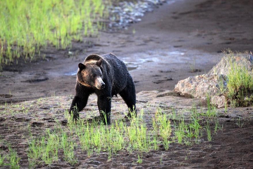 Un oso Grizzlie es visto en el parque Yellowstone, EE. UU. (Foto Prensa Libre: AP).