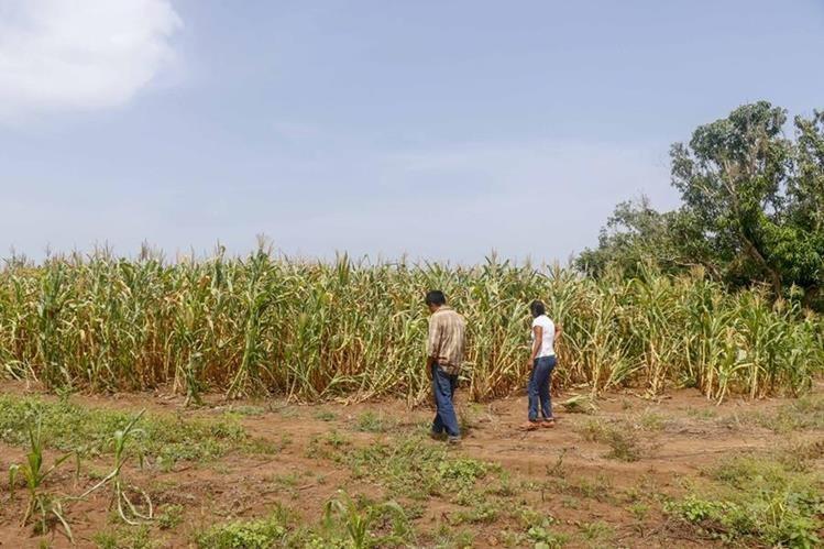 Familias pobres tienen pérdidas de su cosechas y está en riesgo su seguridad alimentaria. (Foto Prensa Libre: Hemeroteca PL)